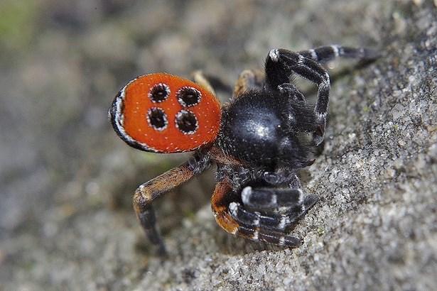 Popis: Stepník rudý vzácný druh pavouka.