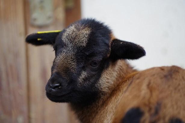 Popis: Jehně ovce kamerunské hnědé.