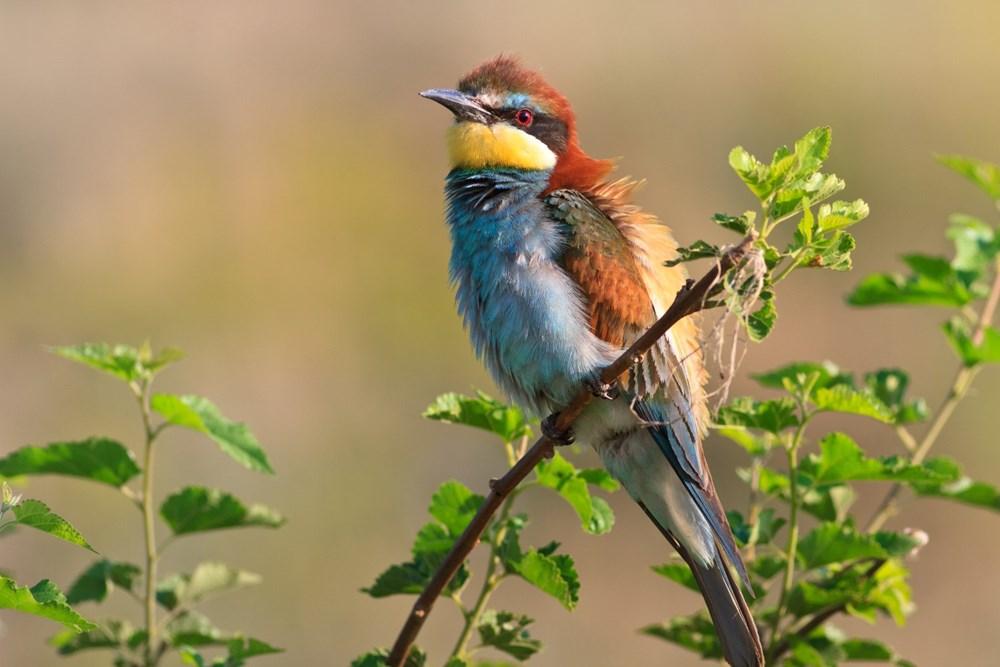 Vlha pestrá je nezaměnitelný štíhlý pták s dlouhým, dolů zahnutým zobákem, dlouhými zašpičatělými křídly a dlouhým ocasem se dvěma prodlouženými středními pery.