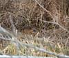 Bobři na Znojemsku zůstanou: kraj s nimi počítá při budování mokřadů