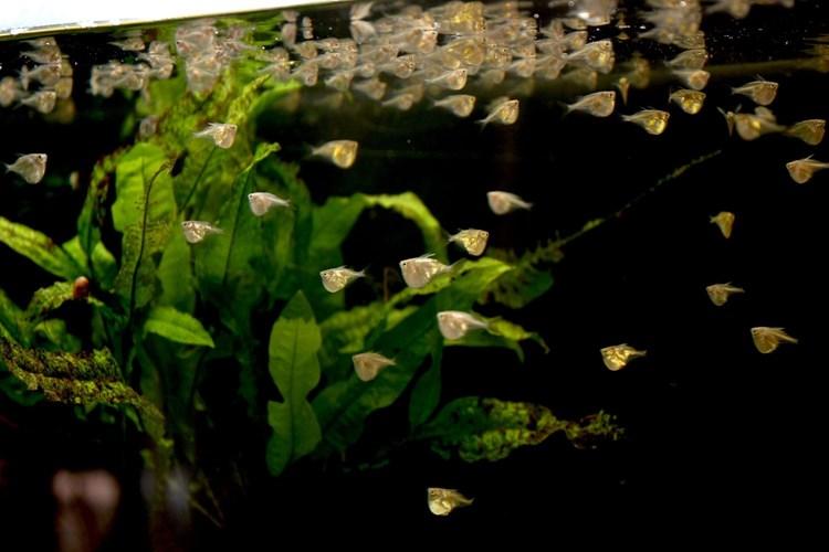 V Zoo Ostrava se rozmnožily létající ryby sekernatky dlouhoploutvé – pravděpodobně se jedná o světový unikát