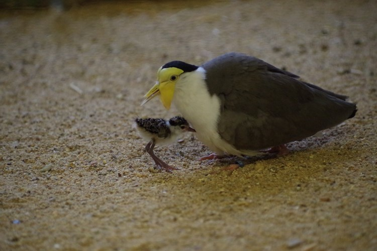 Čejky australské v ústecké zoo mají mladé