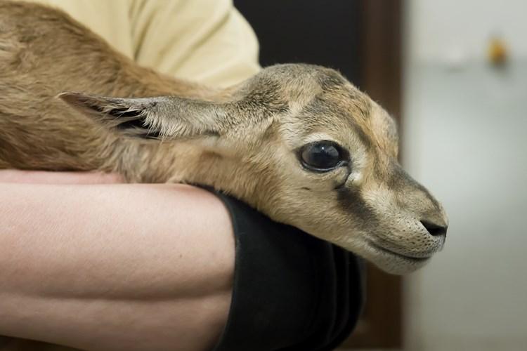 Baby boom u antilop. Desítky vzácných mláďat míří do letních výběhů, Africké a Lví safari otevřou v květnu