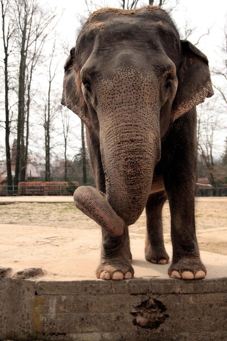 Zoo Liberec nechala uspat slonici Rání, druhého nejstaršího slona v Čechách