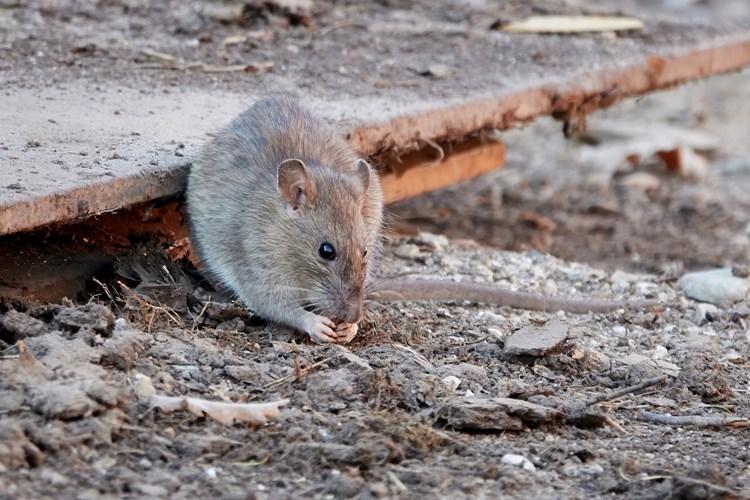Pražští potkani budou opět pod tlakem deratizátorů