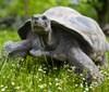 Hlasité námluvy velkých želv v Zoo Praha