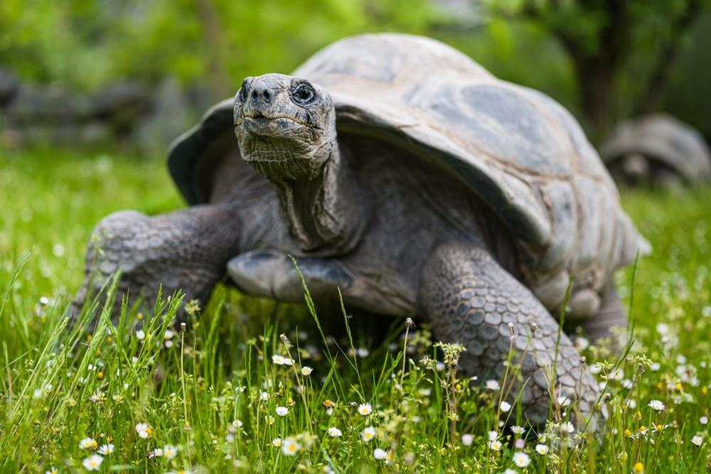 Návštěvníci uvidí velké želvy v jejich vnitřním i venkovním výběhu až do konce září. Sami si rozhodují, zda se půjdou přes den napást a kdy se vrátí přenocovat do vnitřní části pavilonu.
