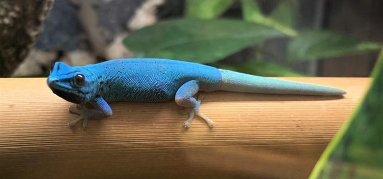 V liberecké zoo jsou prvně k vidění kriticky ohrožení gekoni modří