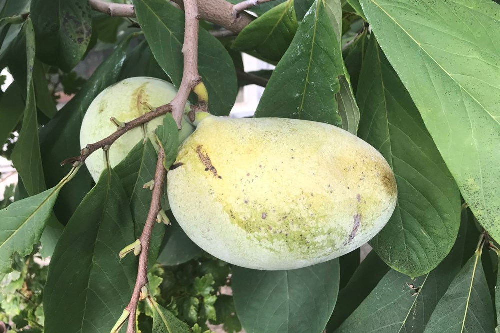 Popis: Banán severu, plody pawpaw.