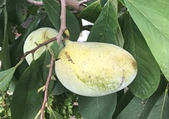 V Klentnici roste banán severu a kaki