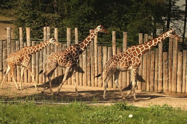 Popis: Rozšíření prostor a novinka, kterou budou moci návštěvníci využít i v zimním období. To jsou hlavní výhody přístavby stájí pro žirafy v Africké vesnici.