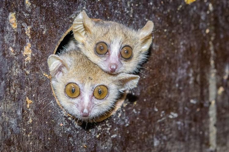 Zoo Praha v současnosti jako jediná v Evropě odchovává makiho Ganzhornova