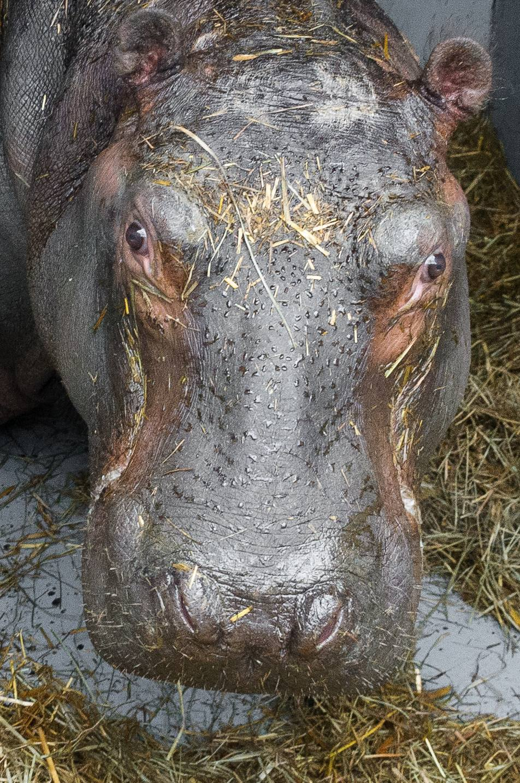 Do Zoo Praha přicestoval z Francie hroch Tchéco narozený 28. října
