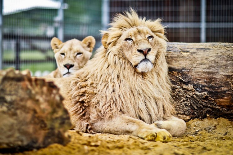Dominantou Zooparku Karlštejn je vznešený bílý lev Leon