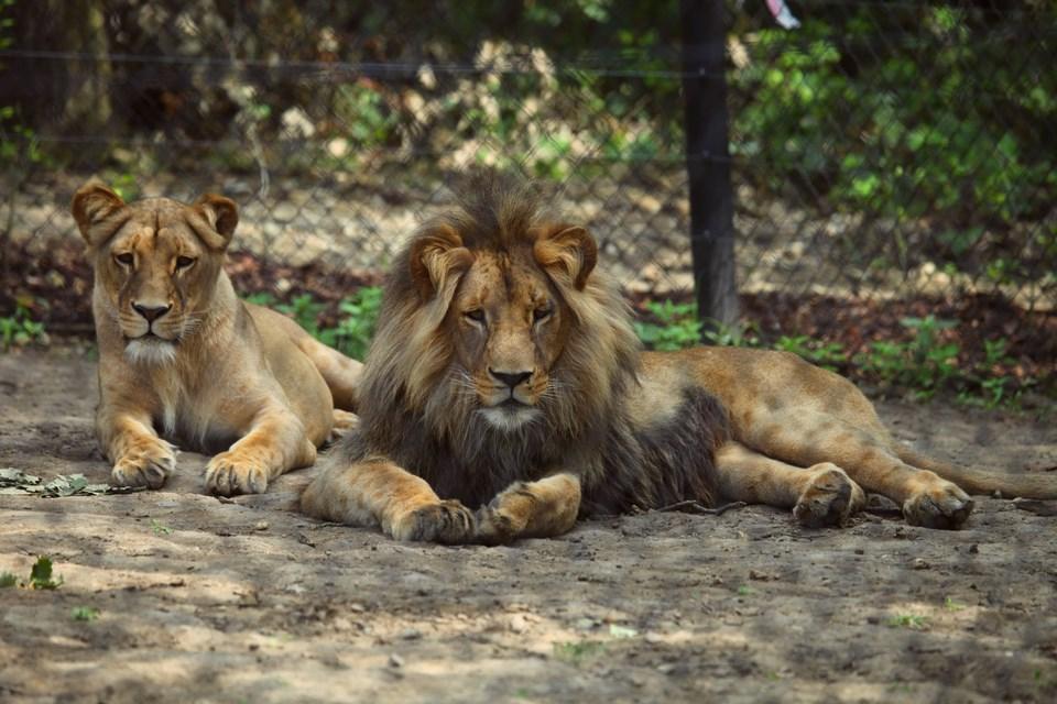 Popis: Lvi žijící v brněnské zoologické zahradě.