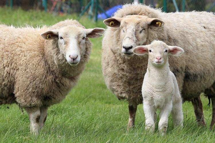 Na Opálené budou stříhat ovečky. Zahraje i cimbálová muzika a okusíte krajovou kuchyni