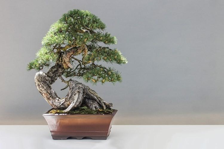 Na konci května se v Třinci uskuteční výstava bonsaí