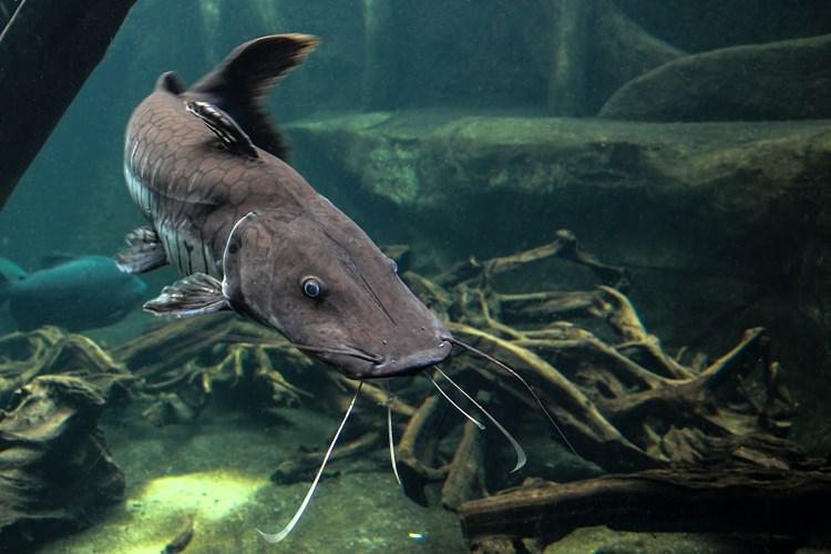 Hlavním lákadlem expozice rybářství jesedm akvárií scelkem asi 2000 litry vody