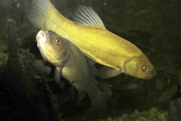 Expozice prezentuje ryby českých řek, rybníků a přehradních nádrží. Pravidelně zde bývá 16 až 20 druhů ryb