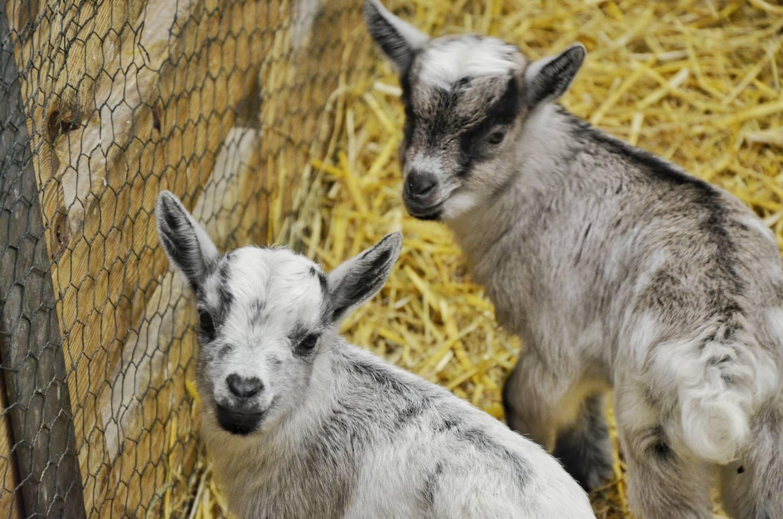 První letošní mláďata v Zoo Brno: kozy a čtyřoké ryby