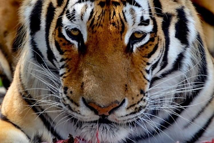 Táborský tygr Rocky slaví narozeniny! Jedničkáři mají vstup do zoo zdarma