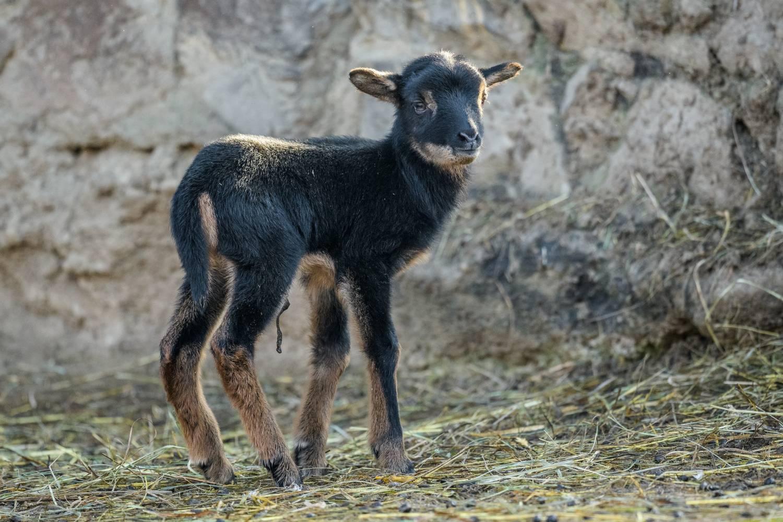 Prvními mláďaty roku jsou v Zoo Praha ovce kamerunská a želva tuniská