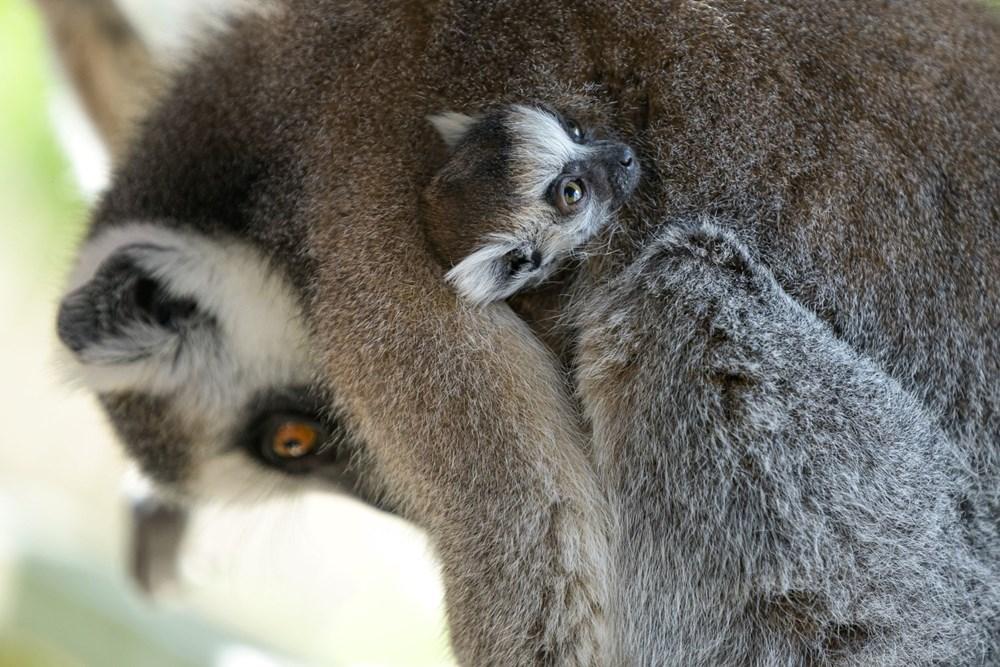 Popis: Jedno z dvojčat se drží matky Móni.