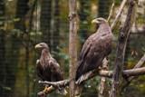 Tři mláďata u orlů mořských – dvě v péči rodičů, jedno u pěstounů