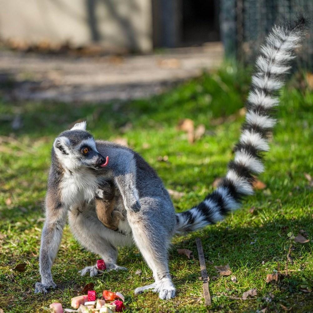 Skupina lemurů kata ze Zoo Praha se rozrostla o další mládě. Nový benjamínek se narodil ve středu brzy ráno a zatím se vyvíjí dobře.