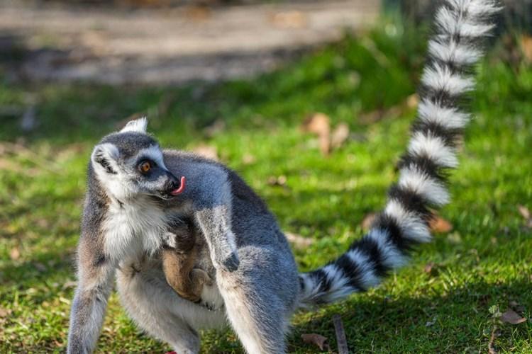 V Zoo Praha se narodil lemur kata