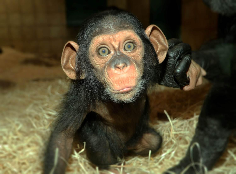 Šimpanzí slečna Caila z plzeňské zoo už vyráží na průzkumy po výběhu