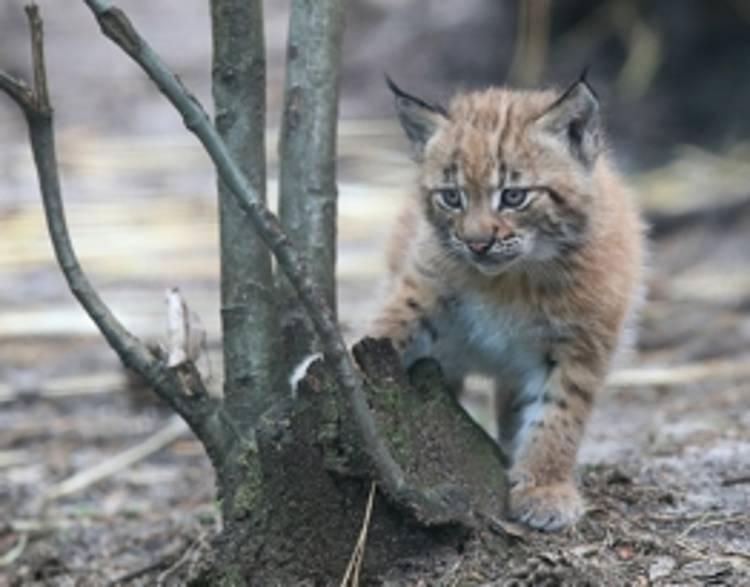 Dalším přírůstkem z děčínské zoo je kotě rysa ostrovida