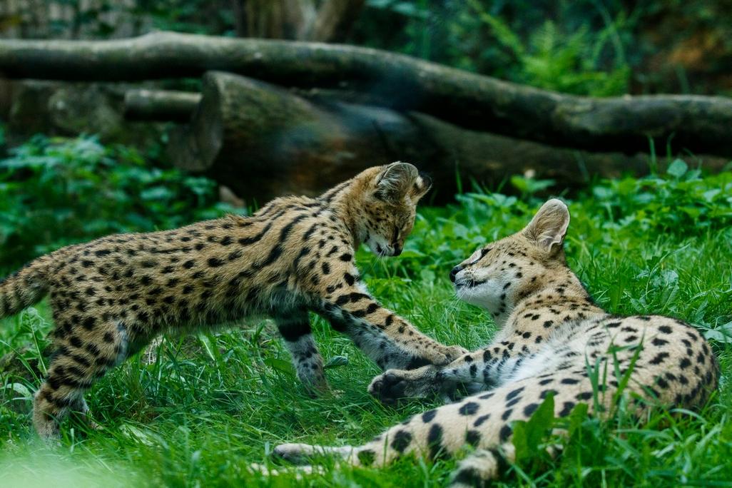 V ostravské zoo mohou návštěvníci vidět mládě servala