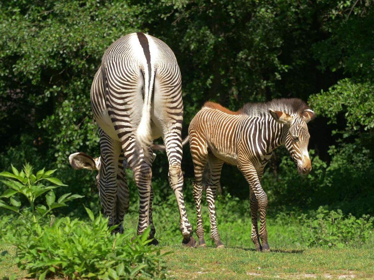VZoo Ostrava je ve výběhu afrických zvířat kvidění mládě vzácné zebry Grévyho