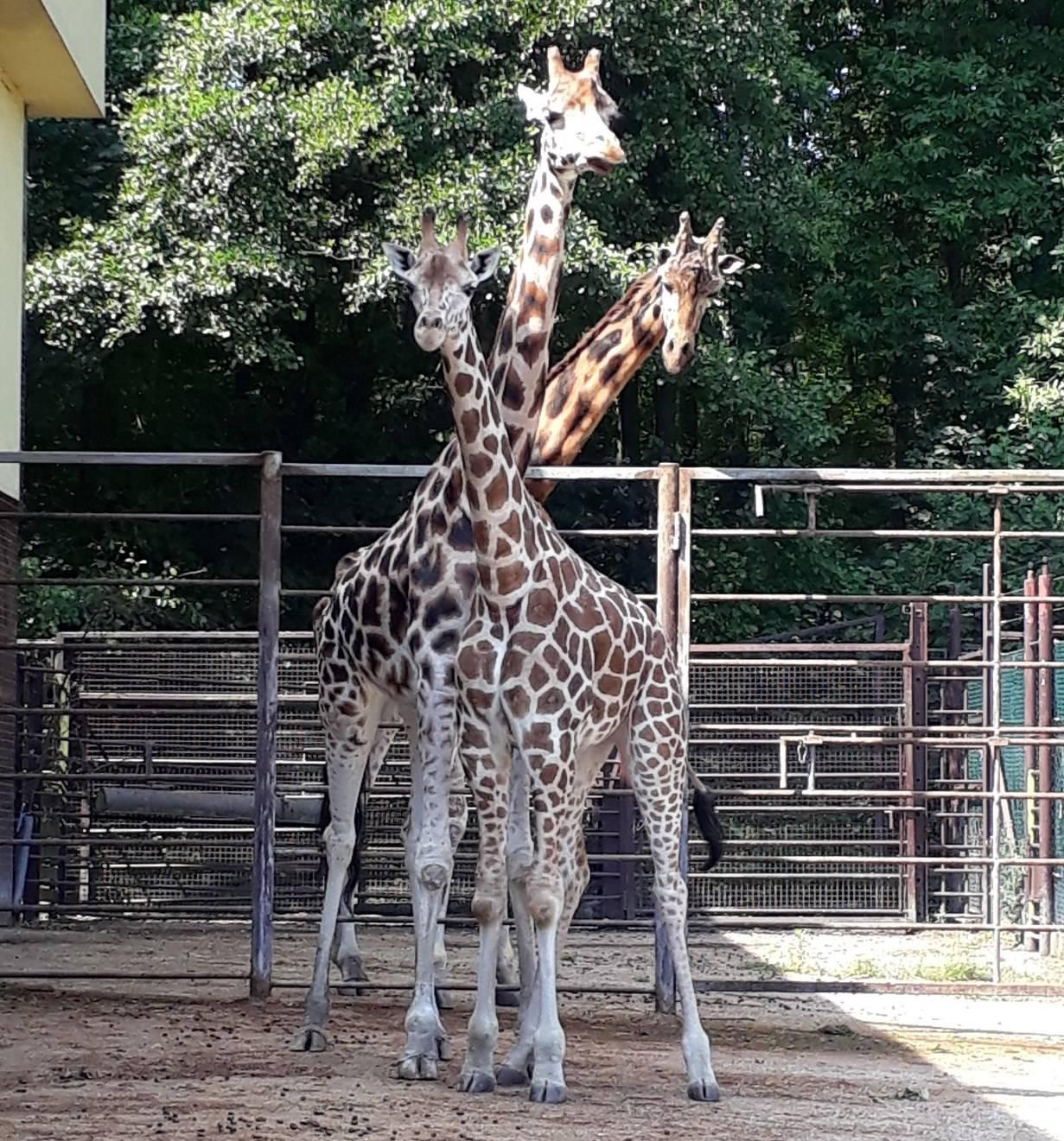 V Zoo Ostrava se zabydluje nová žirafa