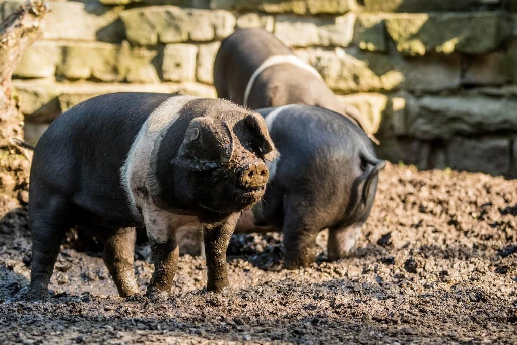 V expozici sdomácími zvířaty v ostravské zoo mohou návštěvníci vidět několik nových přírůstků