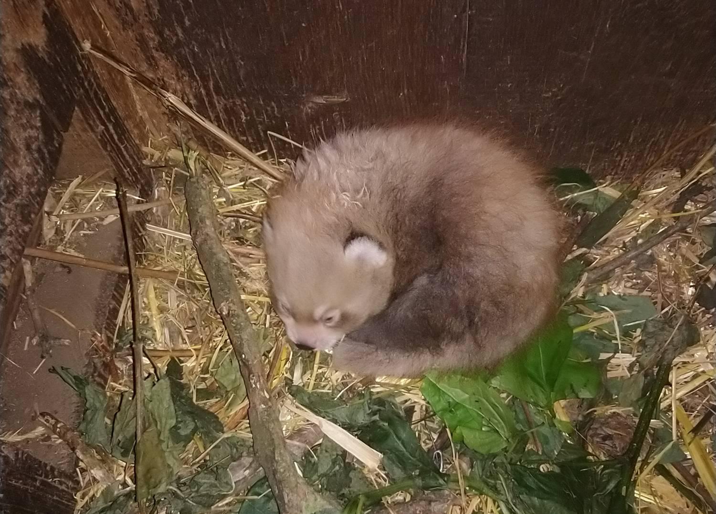 Ústecká zoo slaví. Po pěti letech se tady narodilo mládě pandy červené