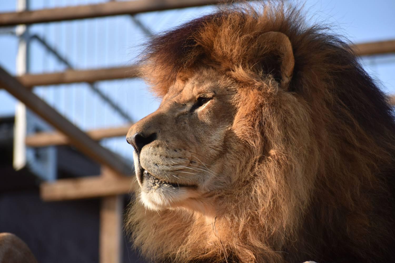 Skutečným králem v ZOO Tábor je jednoznačně lev Simba