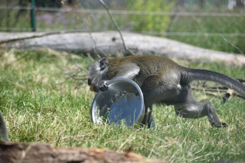Makak jávský z táborské zoo by jako nosič jídla rozhodně neuspěl