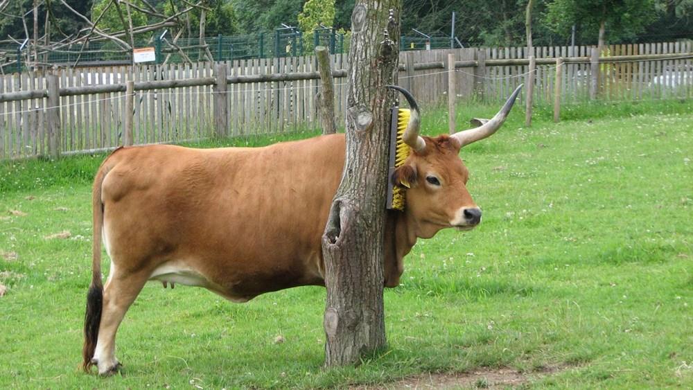 Popis: Tur domácí, plemeno cachena využívá drbátka v Zoo Tábor.