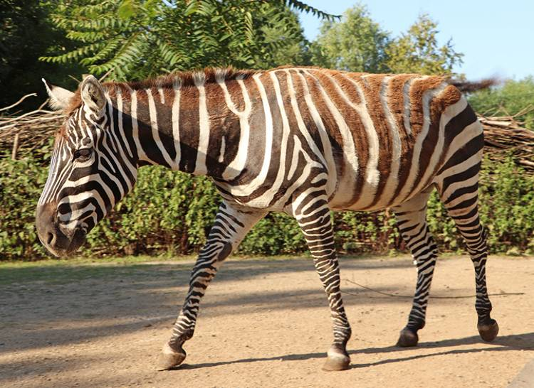 Zoo Plzeň chová nově vzácné zebry bezhřívé