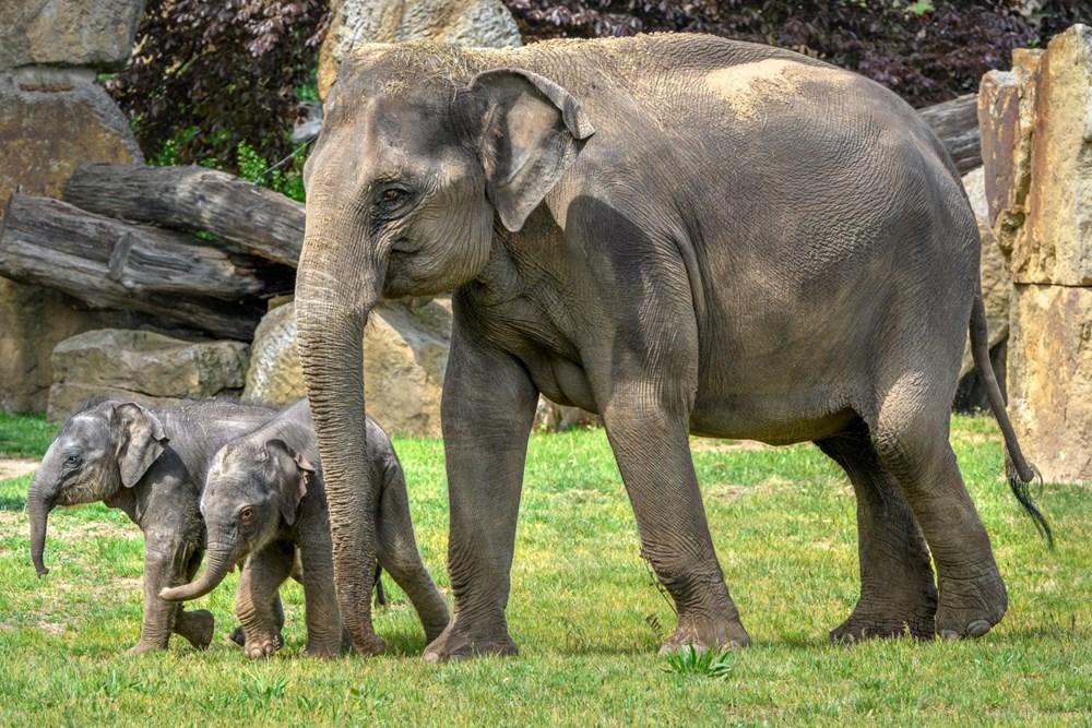 Popis: Při oslavách Světového dne slonů v Zoo Praha na návštěvníky čeká bohatý program s celou sloní rodinou. Nebude chybět koupání slonic a také předání dárku v podobě nového enrichmentového prvku.